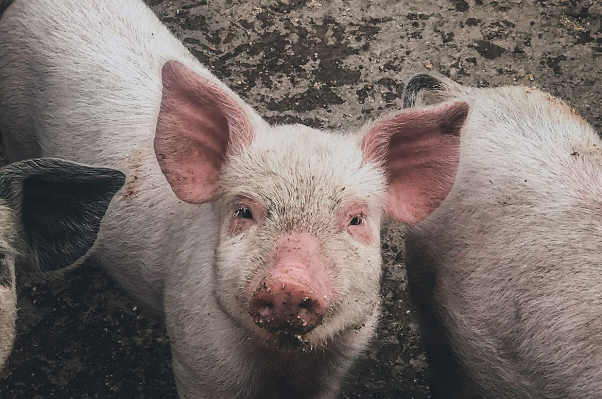 african swine fever-pig-disease-pediabuzz